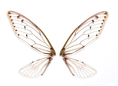 Insekt Zikade Standard-Bild - 32819141