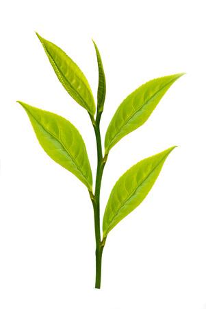 Grüner Tee Blätter auf weißem Hintergrund Standard-Bild - 33901881