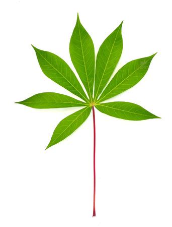 Beautiful Cassava leaf 版權商用圖片