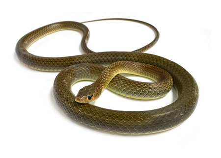 snake isolated on white 스톡 콘텐츠