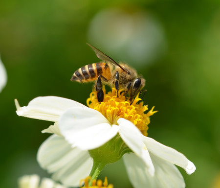 bee on white flower: Bee to a flower.