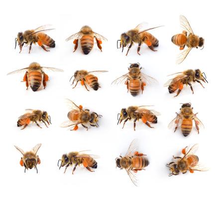 wasp: abeja aislado en el blanco