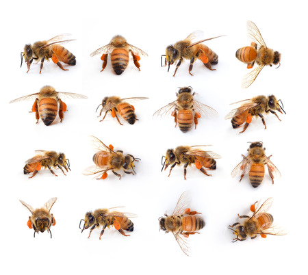 worker bees: bee isolated on the white