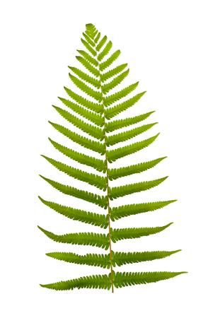 unfurling: Green fern leaf isolated on white