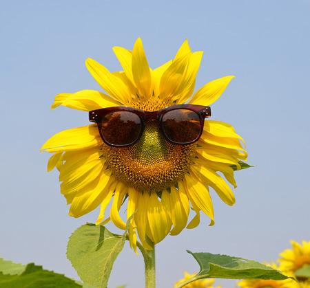 Sunflower mit Sonnenbrille Standard-Bild - 36663484