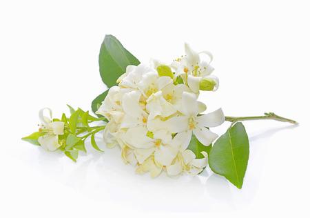 jessamine: Andaman satinwood isolato su sfondo bianco