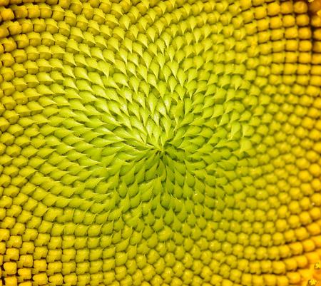 golden ratio: cierre hermoso girasol caliente Foto de archivo