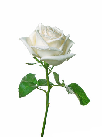 A single white Rose isolated on white background