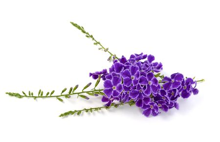 fiori di lavanda: fiori viola isolati su uno sfondo bianco.