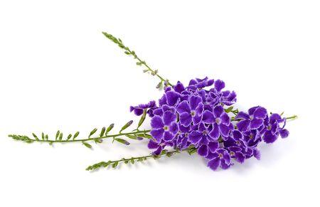 flor violeta: flores púrpuras aislados en un fondo blanco.