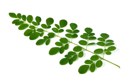 ben oil: Moringa oleifera leaves isolated on white background Stock Photo