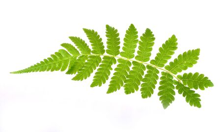 furled: Green fern leaf isolated on white background Stock Photo