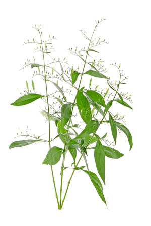 inhibit: Andrographis paniculata plant on white background