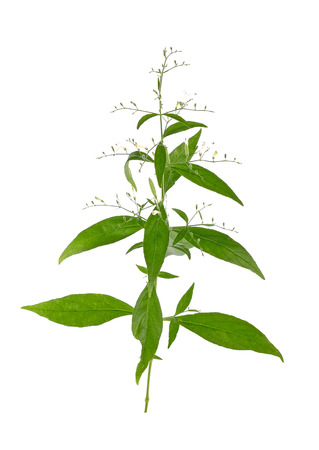 acanthaceae: Andrographis paniculata plant on white background