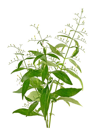 suppress: Andrographis paniculata plant on white background
