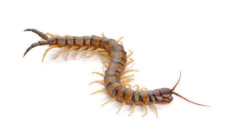 centipede on white background 스톡 콘텐츠