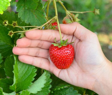 strawberrys: Strawberrys hand Stock Photo