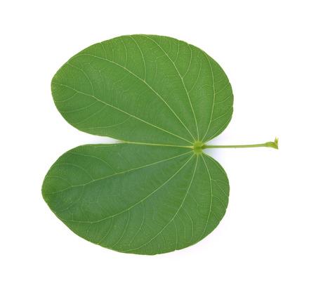 Bauhinia variegata leaf isolated on white background 版權商用圖片