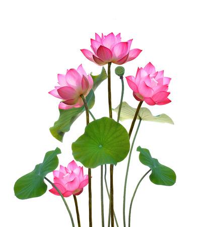 Lotus-bloem op witte achtergrond.