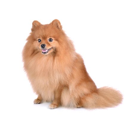 pom: little red dog lying on a white background