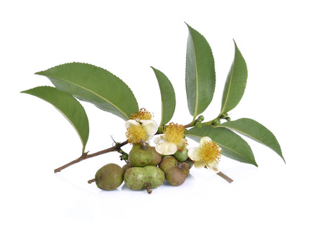 tea seeds ,Flowers, leaves on white background