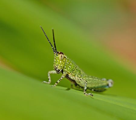 caelifera: Grasshopper