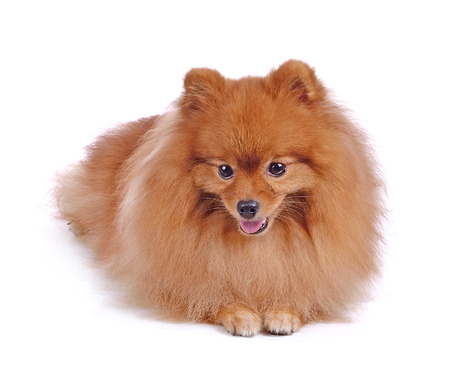 lapdog: little red dog lying on a white background