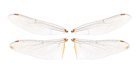 dragonfly wings: dragonfly wings isolated on white background. Stock Photo