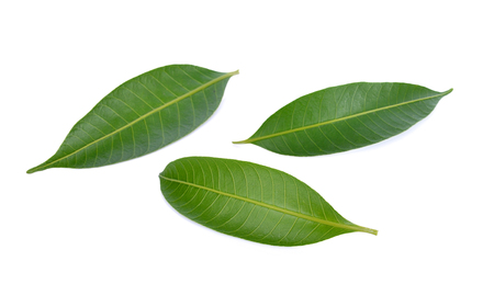 mango leaf: Mango leaf on a white background Stock Photo