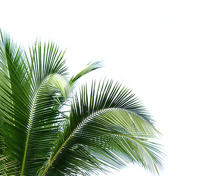 cycas: coconut leaves on white background