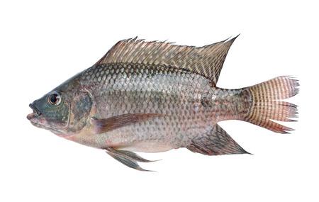 nilotica: fish,Oreochromis nilotica  isolated on white background