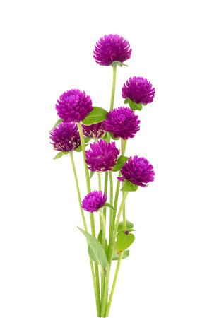 Globe amaranth beauty flower in white background 스톡 콘텐츠