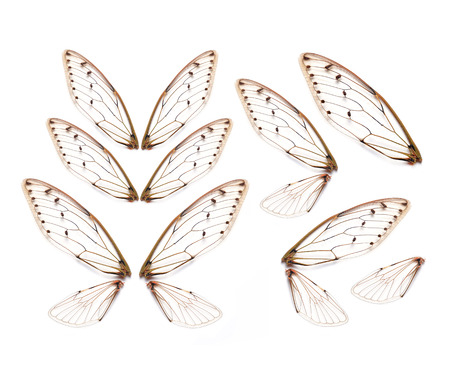 Insect cicada wing  isolated on white background 版權商用圖片