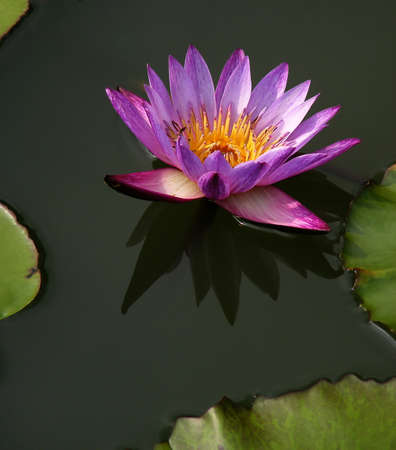 nymphaeaceae: purple water lily, nymphaeaceae, in the pond.