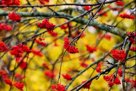 Branches of mountain ash with brushes of bright red berries. In the are yellow autumn leaves.