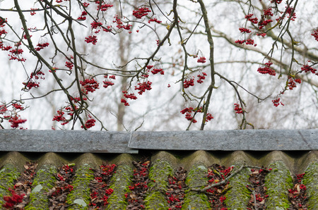 Late fall. Above the old roof hang branches of mountain ash with bright red berries. Some of the berries fell and lay on the roof along with the crumbling leaves. Background.