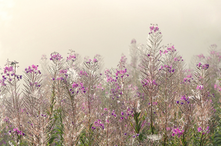 Field with flowers on a background of fog. Kiprej with flowers. Morning in August. Background.