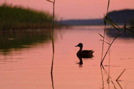 Silhouette of a duck on a lake during sunset. The entire landscape is painted in pink. Background.