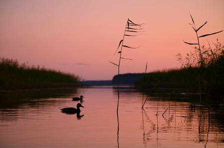 Silhouettes of two ducks on a lake in the evening. The scene is painted in a pink color of sunset. There is a reed in the foreground. Background.