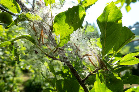 Caterpillars are pests on the fruit tree. Branches and leaves are entangled in a web. Background. Close up.