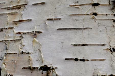texture birch bark, surface trunk birch background Stok Fotoğraf