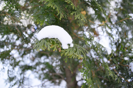 branch of green cypress under snow Stok Fotoğraf