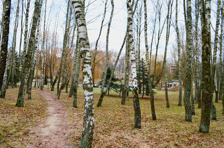 path in an autumn park among birches
