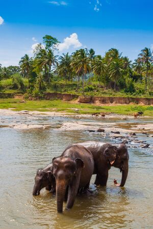river scape: Herd of elephants bathing in the river, Sri Lanka