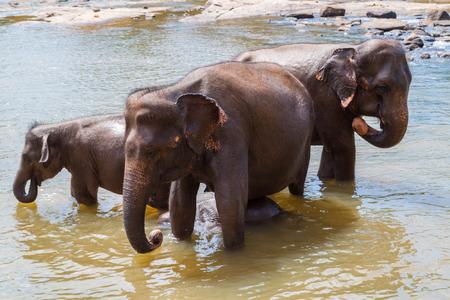 river scape: Elephants bathe in the river, Sri Lanka