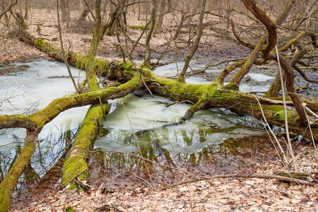 Fallen tree with moss in the winter forest near the river photo
