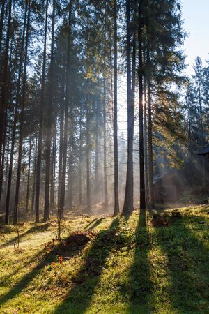 smother: Misty, sunny morning in the coniferous forest in the summer. Carpathians