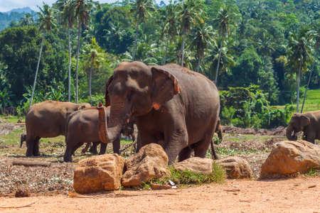 sfondo giungla: Mandria di elefanti asiatici sullo sfondo giungla. Sri Lanka. Archivio Fotografico