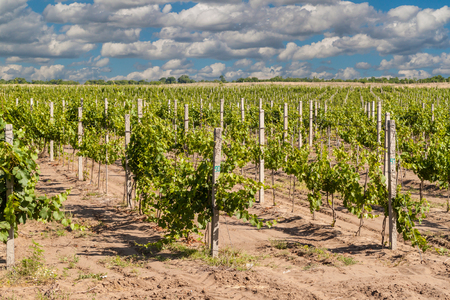 vineyard plain: Vineyard landscape summer sunny day with clouds. Shabo. Ukraine