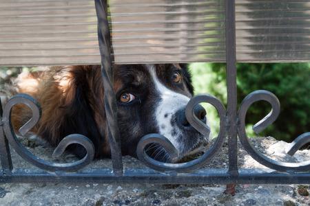 rejas de hierro: Raza de perro triste San Bernardo mira a través de barras de hierro. Foto de archivo